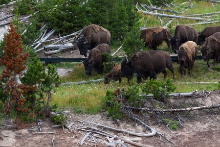 A family of bison crossing a wooden walkway created for tourists to walk around on at Dragons Mouth Springs area of Yellowstone National Park, Wyoming.