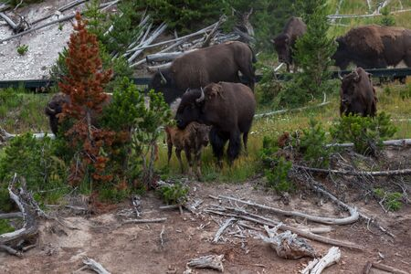A mother bison hugging its baby with her head and neck as the rest of the herd crosses a wooden boardwalk at the Dragons Mouth Springs area of Yellowstone National Park, Wyoming.