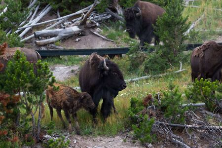 A mother bison standing protectively over her new baby as other members of the herd roam around a boardwalk area at Yellowstone National Park, Wyoming. Stok Fotoğraf