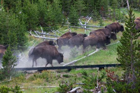 A group of bison running up a hill and over a wooden boardwalk after they were spooked by a bison stepping in a thermal pool and being burned at Yellowstone National Park, Wyoming.