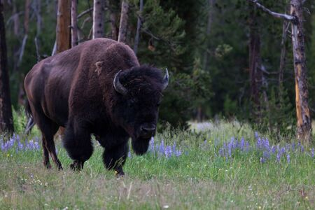 A large bison bull walking in a grassy area next to lupine flowers and a pine forest in Yellowstone National Park, Wyoming.
