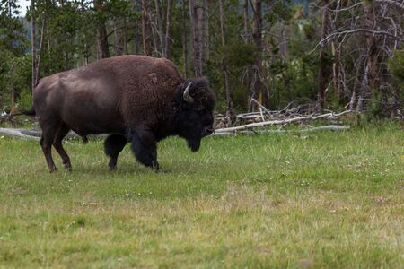 A large bison bull walking in a grassy area on the edge of a pine forest in Yellowstone National Park, Wyoming.