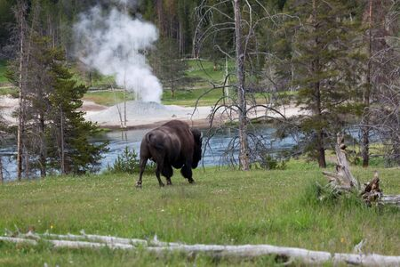 A large bison bull walking in a grassy area on the edge of a river with a steaming geyser in the distance by a pine forest in Yellowstone National Park, Wyoming. Stok Fotoğraf