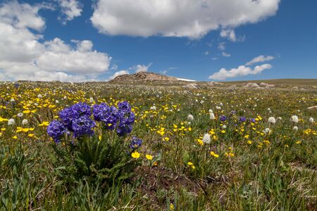 A group of blue sticky polemonium flowers growing at a high elevation with a background of yellow buttercups in Beartooth Pass, Montana. Stok Fotoğraf
