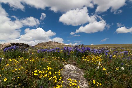 Beautiful wildflowers growing in a rugged high elevation landscape at Beartooth Pass in the Custer National Forest, Montana.