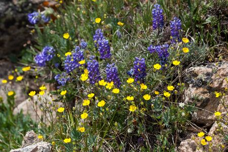 Purple lupine flowers growing with yellow buttercups in the rugged high elevation of Beartooth Pass in Custer National Forest, Montana.