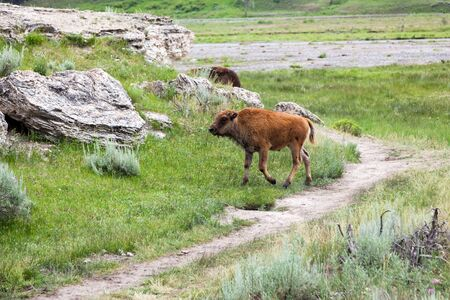 A baby bison walking by a well worn trail and a dormant hot springs mound at Yellowstone National Park, Wyoming. Reklamní fotografie