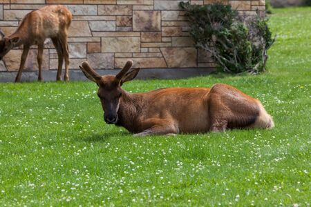 A young bull elk with growing antlers in velvet resting in the grass and clover while a baby elk grazes in the background at Mammoth Village in Yellowstone National Park, Wyoming.