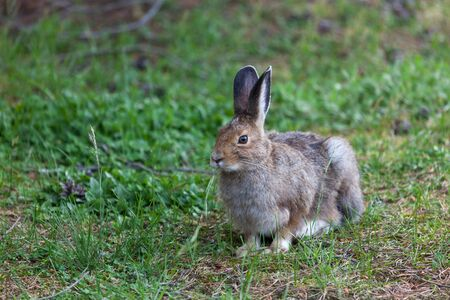 A cute and fuzzy little bunny rabbit resting and eating grass while staying cautious of its surroundings at Yellowstone National Park, Wyoming.