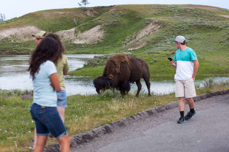YELLOWSTONE NATIONAL PARK, USA - July 12 2014:  A group of tourists on a paved area next to a large bison in Yellowstone National Park, Wyoming on July 12, 2014.