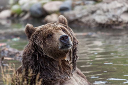 A large grizzly bear posing in a pond with water dripping from his thick fur as it looks at the camera. Stock Photo
