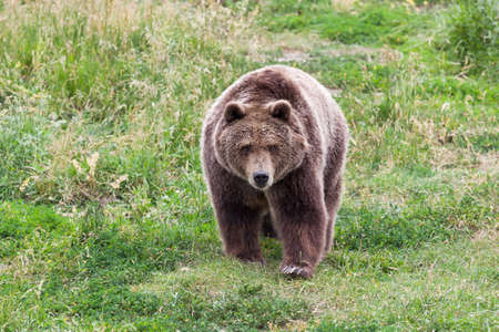 A female grizzly bear walking with intention down a grassy hill in Montana.