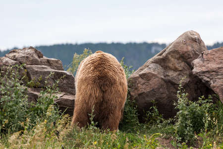 The rear end of a large male grizzly bear as he looks over a boulder at a top of a hill.