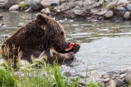 A large grizzly bear using the back of its paw to hold a piece of watermelon up to eat as it relaxes and plays in a shallow pond to cool off on a hot summer day.