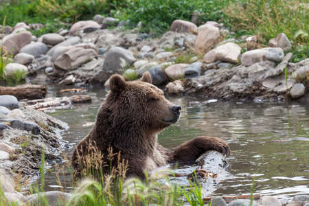 A large grizzly bear sits in a shallow pond holding onto a log while relaxing and cooling off on a hot summer day in Montana.