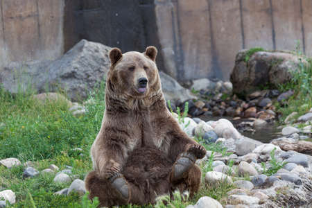 A large male grizzly bear sits in a yoga pose with his tongue sticking out next to a pond and some rocks.