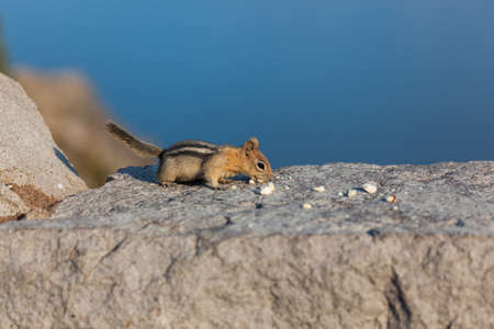 A cute little chipmunk sits on a masonry rock wall and eats pieces of broken nuts in the afternoon light with the deep blue Crater Lake in the background.