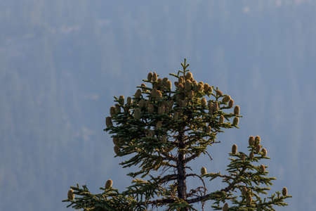 A high elevation Shasta Fir tree is decorated with large cones growing up from the branches with a forest background and thick smoky air from a nearby forest fire.