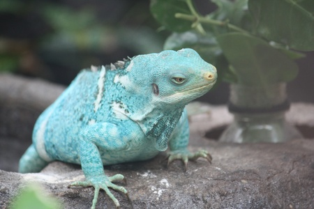 long and short scales: Green Iguana