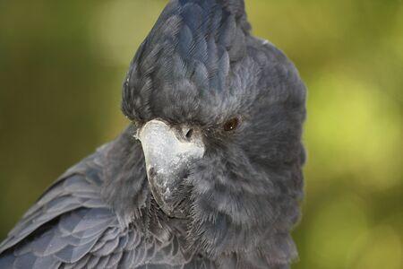 Black Cockatoo photo