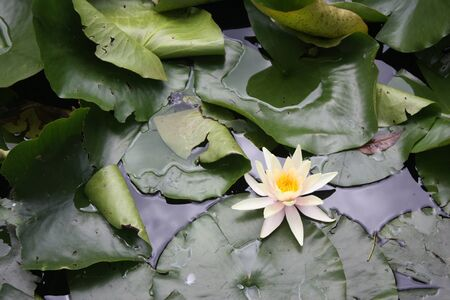 Amazon Water Lilly photo