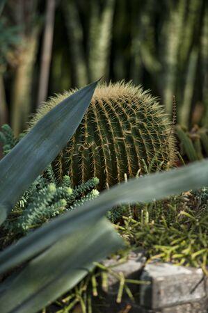 Green prickly cactus flower in a botanical garden photo