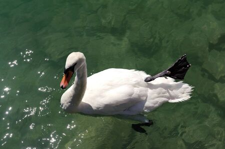White swan swimming in the clear water of the lake  photo