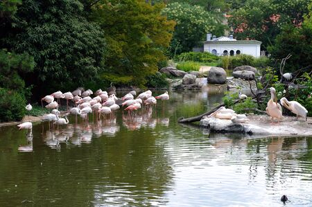 Flamingos and pelicans in the zoo in Lyon, France, Europe