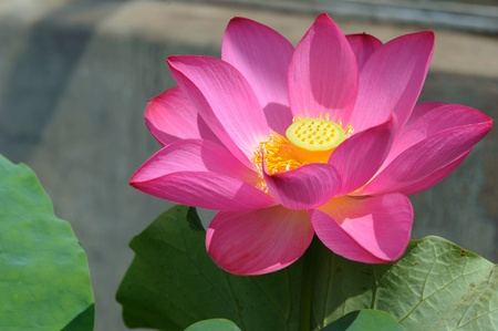 Lotus flower close-up