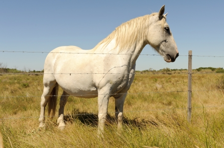 White Horse  Camargue, France  photo