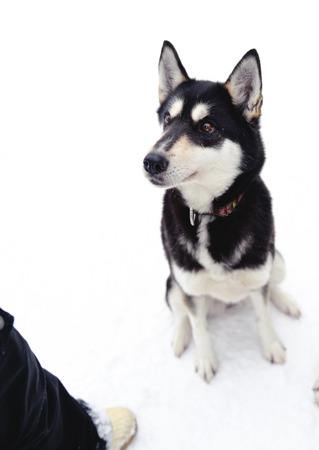 Husky sitting on snow in winter close up