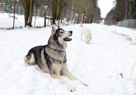 Husky lying on the snow in winter in the forest