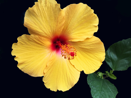 Colorful Yellow Hawaiian Hibiscus Flower Stock Photo - 39681646