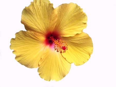 Bright Yellow Hawaiian Hibiscus Flower