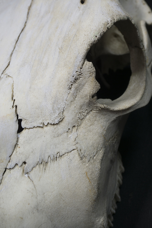 eye socket: Macro Photo of a Cow Skull Stock Photo