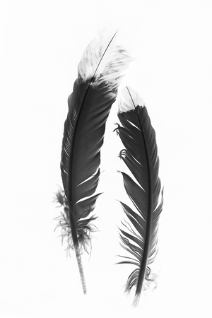 pluma: Las plumas indias americanas nativas en Blanco y Negro