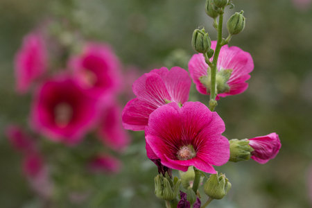 Closed up pink flowers on blured green backgrounds.Alcea