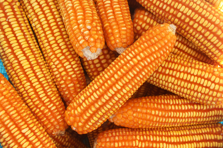 Closed up sweet corn, top view. Stock Photo
