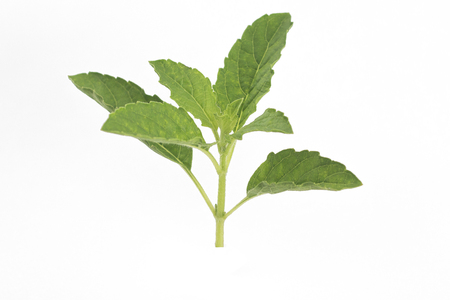 Isolate bundle of Thai basil leaves on white background. Best of ingredient for cooking and herbs. Zdjęcie Seryjne