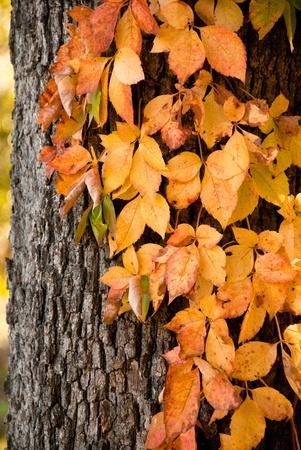 Autumn Vines Growing up Tree Bark