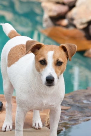 Jack Russell Terrier Dog standing near the swimming pool looking at camera. photo