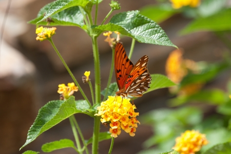 Beautiful monarch butterfly on yellow lantana. photo