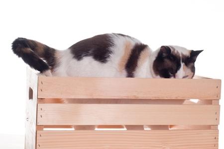 agachado: Gato blanco con los ojos azules agachado en una jaula, fondo blanco aislado.