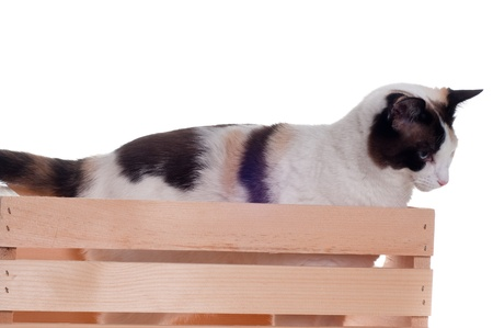tammy: White cat with blue eyes inside a wooden crate.  Isolated white background.
