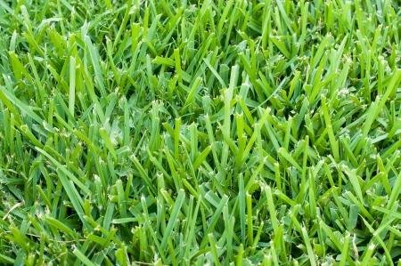 セントオーガスティン草の背景。