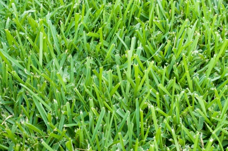 Background of saint augustine grass. photo