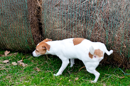 Jack Russell dog hiking his leg up to pee outdoors on a hay bale. Stock Photo