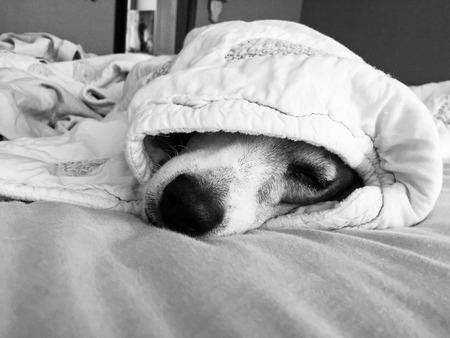 white dog: Black and white photo of a jack russell terrier dog under the covers on a bed. Stock Photo