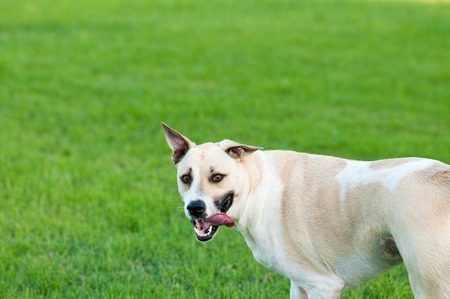 large dog: Large white and tan dog outdoors with floppy ears and tongue sticking out looking funny and silly in green grass.