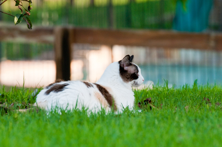 wood grass: Close up of gorgeous kitty outdoors laying on green grass looking sideways with wood fence in background.